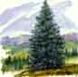 Image of the State Tree - The Colorado Blue Spruce